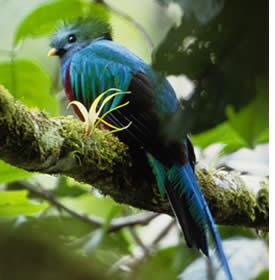 Quetzal resplendissant dans le Parc National du Volcan Bar